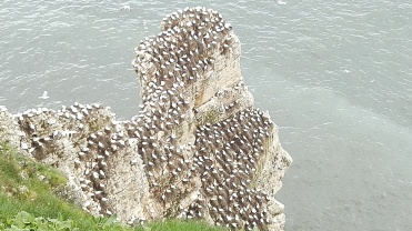 Bempton Cliffs East Yorkshire