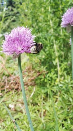 BF bumble bee