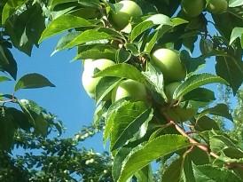 Apple tree Lepusche