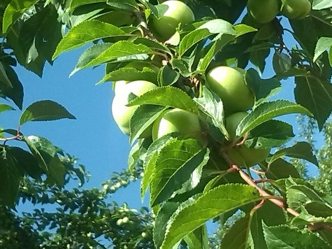 Apple tree Lepusche