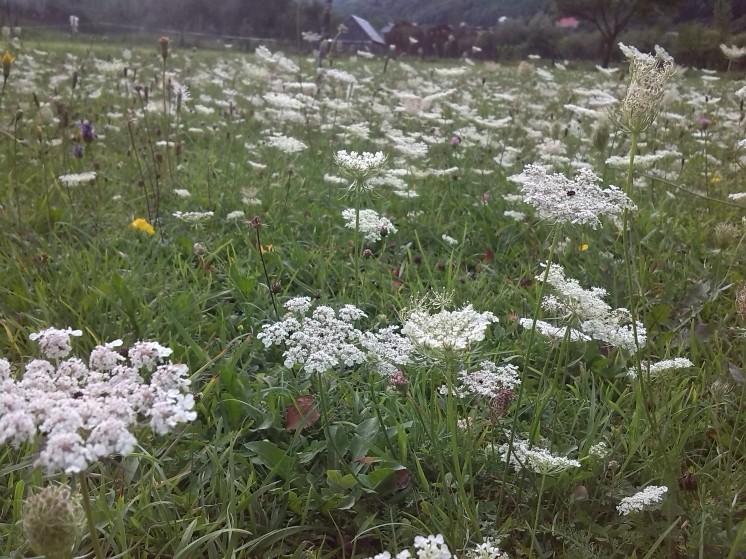 Summer flowers Vermoshi valley