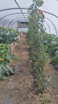 Tomatoes in the poly tunnel