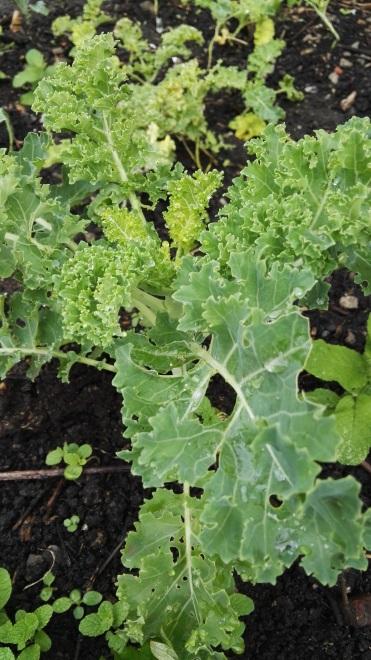 Kale edible beds Todmorden
