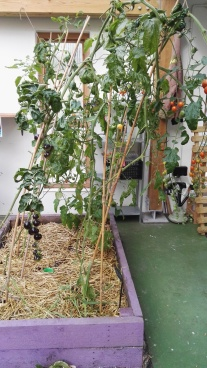 Indoor Growing beds for tomatoes Incredible AqauGarden