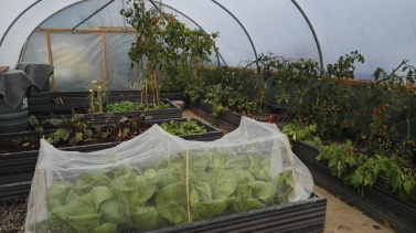Cape Horn Cabbage, beetroot, Sungold tomatoes growing in the Polytunnel