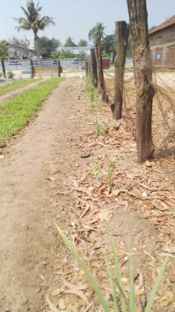 Lemon Grass and edible borders
