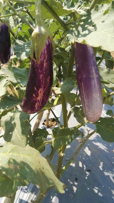Aubergine crop
