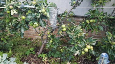 Espaliered apple tree