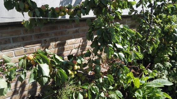 Fruit Trees espaliered