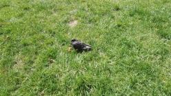Sunbathing Pigeon
