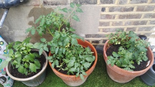 Tomatoes and Chilli peppers