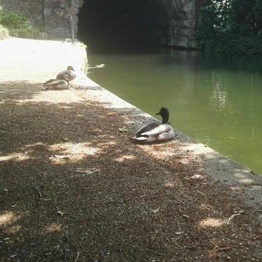 Sunbathing Ducks