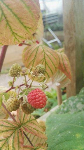 Autumn Raspberries