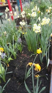 Daffodils Papa's Park Brixton