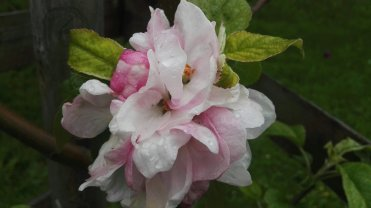 Apple Arthur Turner blossom