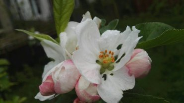 Apple Beauty of the Earth blossom